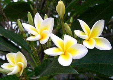 Dok Champa Flower Laos